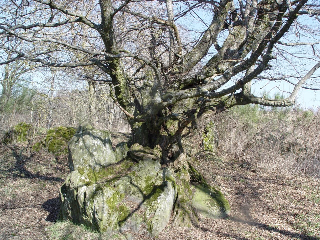 arbre de vie marcenod